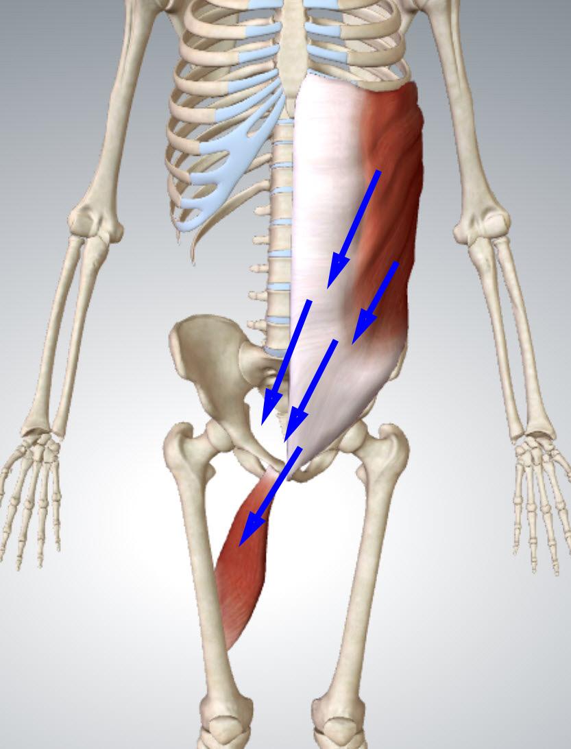 anterior-oblique-chain
